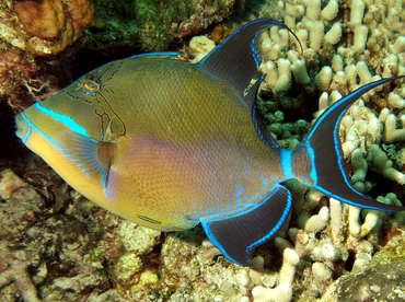 Queen Triggerfish - Balistes vetula - The Exumas, Bahamas