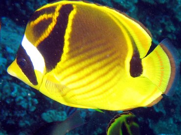 Raccoon Butterflyfish - Chaetodon lunula - Lanai, Hawaii