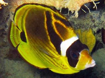 Raccoon Butterflyfish - Chaetodon lunula - Palau