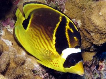Raccoon Butterflyfish - Chaetodon lunula - Maui, Hawaii