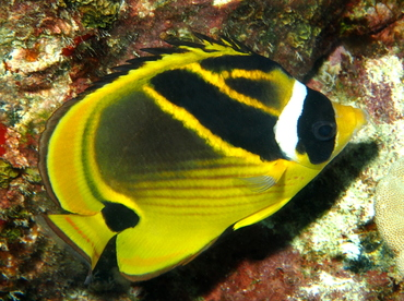 Raccoon Butterflyfish - Chaetodon lunula - Big Island, Hawaii