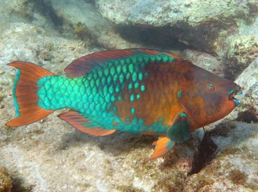 Rainbow Parrotfish - Scarus guacamaia - Grand Cayman