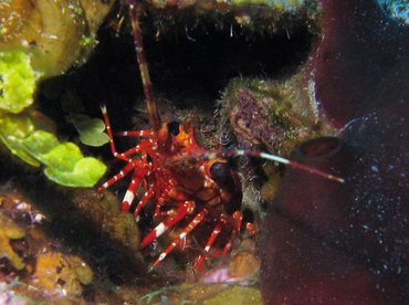 Red Banded Lobster - Justitia longimanus - Turks and Caicos