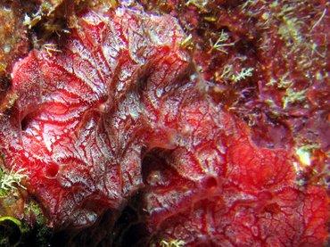 Encrusting Sponge Red Encrusting Sponge