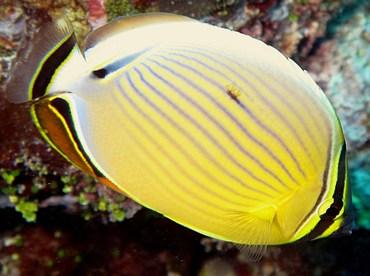 Redfin Butterflyfish - Chaetodon lunulatus - Yap, Micronesia