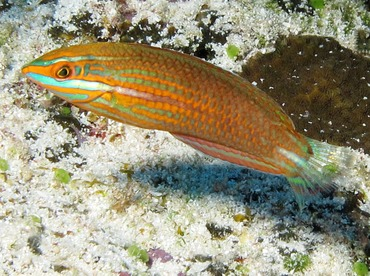 Red-Lined Wrasse - Halichoeres biocellatus - Yap, Micronesia
