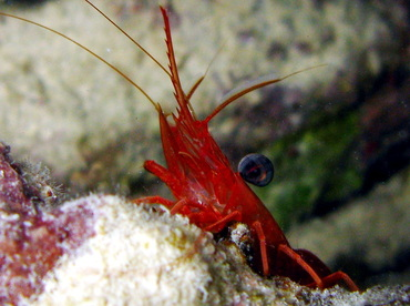 Red Night Shrimp - Cinetorhynehus manningi - Belize