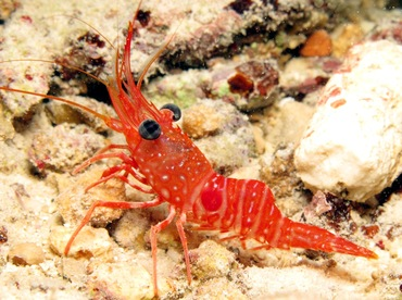 Red Night Shrimp - Cinetorhynehus manningi - Bonaire