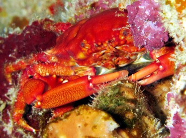 Red-Ridged Clinging Crab - Mithraculus forceps - Belize