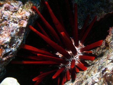 Red Slate Pencil Urchin - Heterocentrotus mammillatus - Big Island, Hawaii