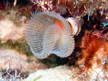 Red-Spotted Horseshoe Worm - Protula sp. - Grand Cayman