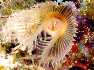 Red-Spotted Horseshoe Worm - Protula sp. - Bonaire