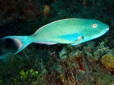 Redtail Parrotfish - Sparisoma chrysopterum - Cozumel, Mexico