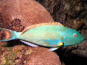 Redtail Parrotfish - Sparisoma chrysopterum - Grand Cayman