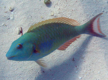 Redtail Parrotfish - Sparisoma chrysopterum - Isla Mujeres, Mexico