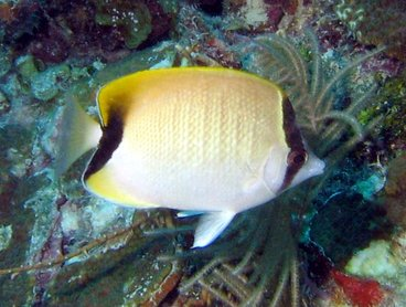 Reef Butterflyfish - Chaetodon sedentarius - Key Largo, Florida