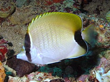 Reef Butterflyfish - Chaetodon sedentarius - Aruba