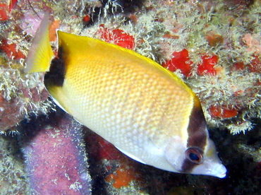 Reef Butterflyfish - Chaetodon sedentarius - Islamorada, Florida