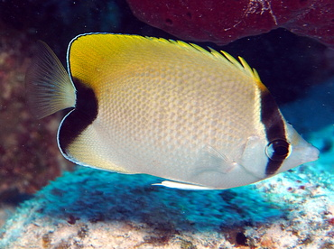 Reef Butterflyfish - Chaetodon sedentarius - Turks and Caicos