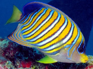 Regal Angelfish - Pygoplites diacanthus - Palau