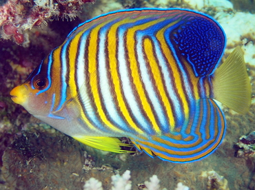 Regal Angelfish - Pygoplites diacanthus - Fiji
