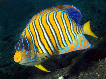 Regal Angelfish - Pygoplites diacanthus - Bali, Indonesia