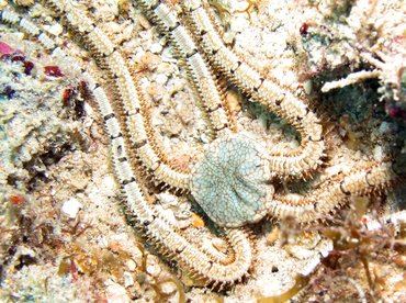 Reticulated Brittle Star - Ophiothrix reticulata - Aruba