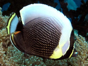 Reticulated Butterflyfish - Chaetodon reticulatus - Palau