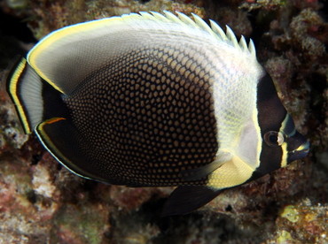 Reticulated Butterflyfish - Chaetodon reticulatus - Big Island, Hawaii