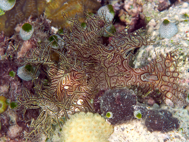 Lacy Scorpionfish - Rhinopias aphanes - Great Barrier Reef, Australia