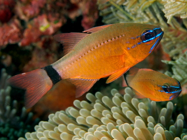 Ring-Tailed Cardinalfish - Ostorhinchus aureus - Bali, Indonesia