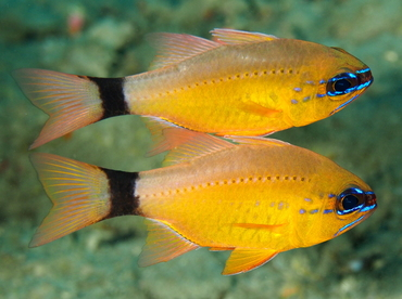 Ring-Tailed Cardinalfish - Ostorhinchus aureus - Anilao, Philippines