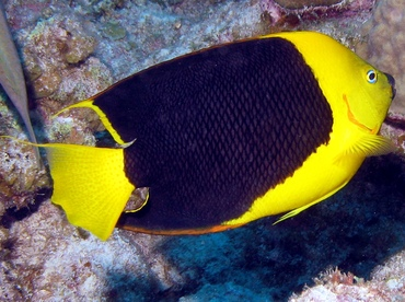 Rock Beauty - Holacanthus tricolor - Grand Cayman