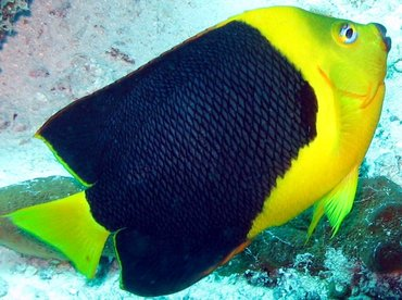 Rock Beauty - Holacanthus tricolor - Aruba
