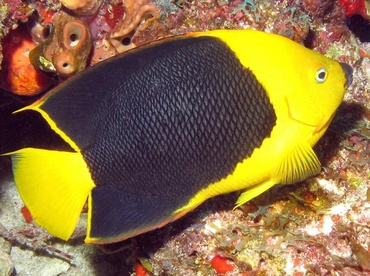 Rock Beauty - Holacanthus tricolor - Isla Mujeres, Mexico