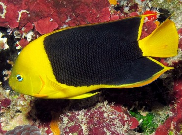 Rock Beauty - Holacanthus tricolor - Belize