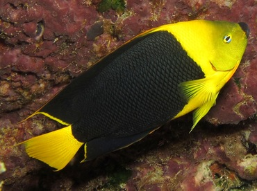 Rock Beauty - Holacanthus tricolor - Cozumel, Mexico