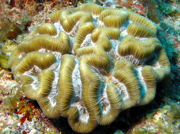 Rose Coral - Manicina areolata - Belize