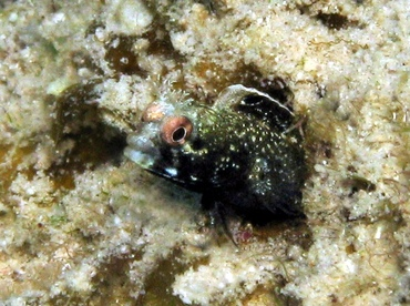 Roughhead Blenny - Acanthemblemaria aspera - Grand Cayman