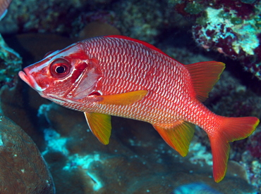 Sabre Squirrelfish - Sargocentron spiniferum - Palau