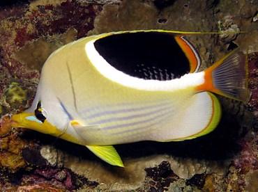 Saddled Butterflyfish - Chaetodon ephippium - Palau