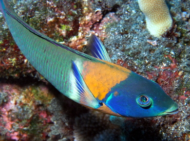 Saddle Wrasse - Thalassoma duperrey - Big Island, Hawaii