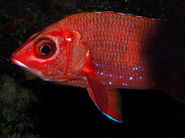 Blue Lined Squirrelfish - Sargocentron tiere - Big Island, Hawaii