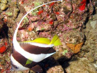 Schooling Bannerfish - Heniochus diphreutes - Lanai, Hawaii