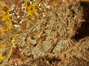 Pacific Spotted Scorpionfish - Scorpaena mystes - Cabo San Lucas, Mexico