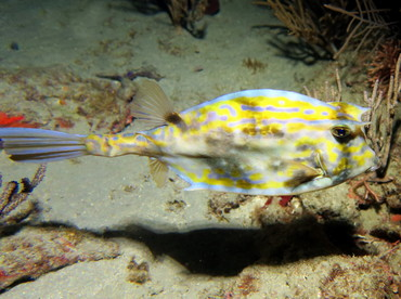 Scrawled Cowfish - Acanthostracion quadricornis - Palm Beach, Florida