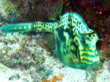 Scrawled Cowfish - Acanthostracion quadricornis - Key Largo, Florida
