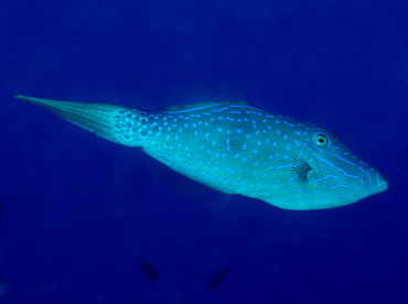 Scrawled Filefish - Aluterus scriptus - Big Island, Hawaii
