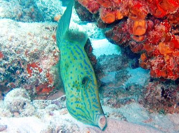 Scrawled Filefish - Aluterus scriptus - Key Largo, Florida