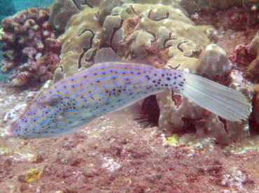 Scrawled Filefish - Aluterus scriptus - Maui, Hawaii
